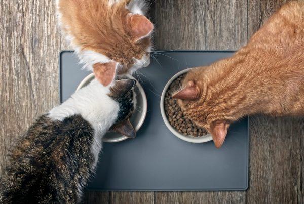 dietas para el cuidado dental de tu gato